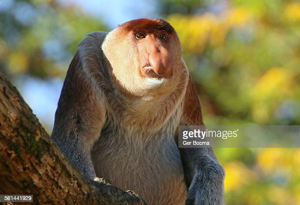 proboscis monkey portrait - big nose stock photos and pictures