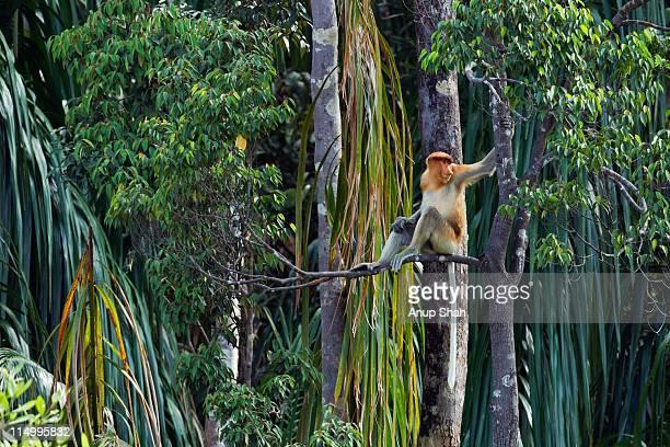 proboscis monkey sitting amongst trees - bako national park stock pictures, royalty-free photos & images