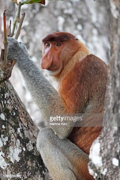 proboscis monkey (nasalis larvatus) sitting in the tree, bako national park, sarawak, borneo, malaysia - bako national park stock pictures, royalty-free photos & images