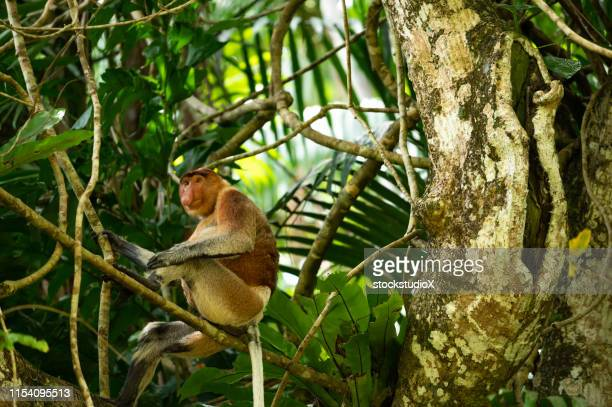 proboscis monkey sitting on branch in rainforest - bako national park stock pictures, royalty-free photos & images