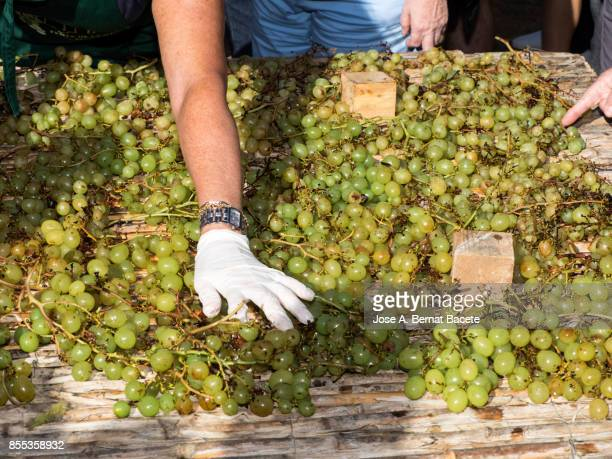 Process of selection of the grapes on a table of canes, after having being boiled 10 seconds. After his selection they were left to drying to the Sun on this table of cane to turn in you raisin. People of Benicolet, Valencian Community, Spain.