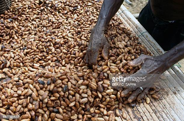 Processing and drying cocoa beans near Kumasi Ghana