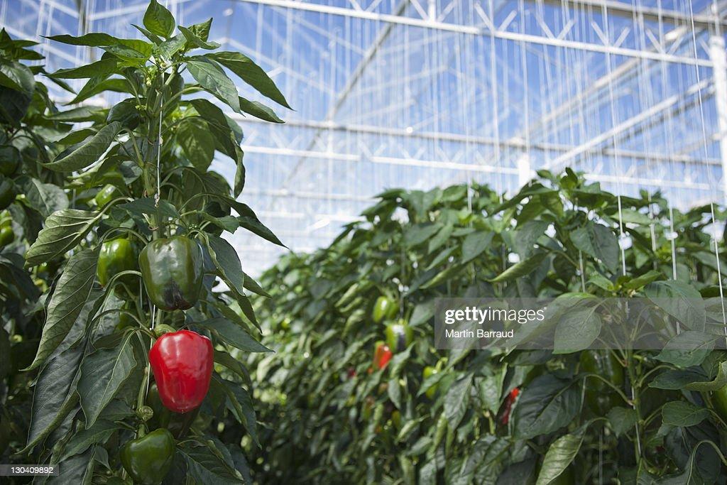 Producir crecimiento en greenhouse : Foto de stock