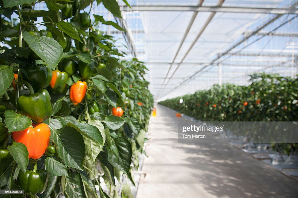 Produce growing in greenhouse : Stock Photo