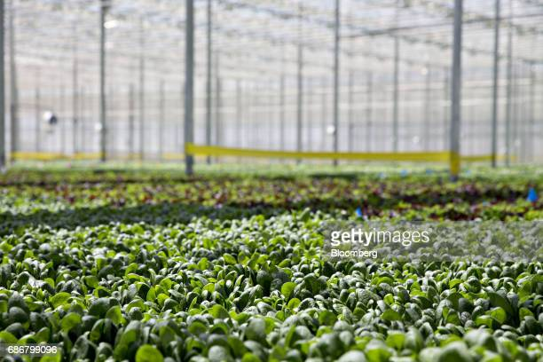 Produce grows in floating trays on a hydroponic pool at the BrightFarms Inc Chicagoland greenhouse in Rochelle Illinois US on Friday May 12 2017 The...