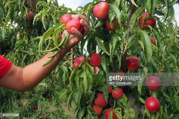 Producer of organic nectarines examines the ripeness of the nectarines at his field in SaintGenis des Fontaines on July 21 2017 / AFP PHOTO / RAYMOND...