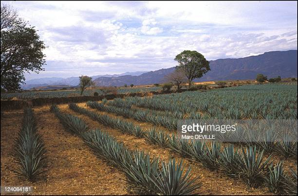 Production In Tequila Mexico In April 2000 Field of blue agave
