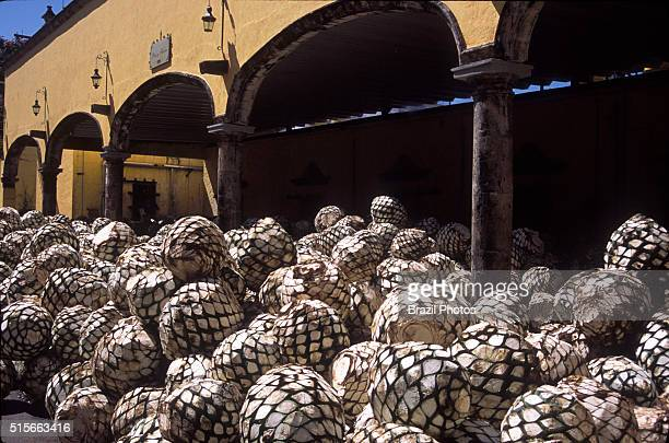 Production of tequila blue agave pinecones also known as jima in front of Jose Cuervo alembic ovens tequila is produced by removing the heart of the...