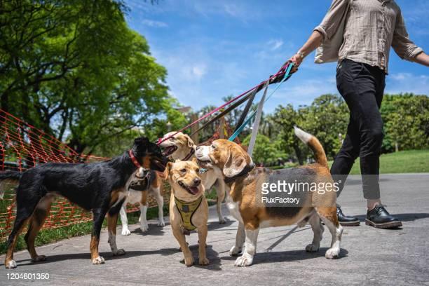 dog walker professionista e un gruppo di cani in un parco pubblico - gruppo di animali foto e immagini stock