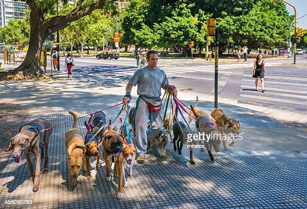 professional dog walker in buenos aires, argentina - dog walker stock photos and pictures