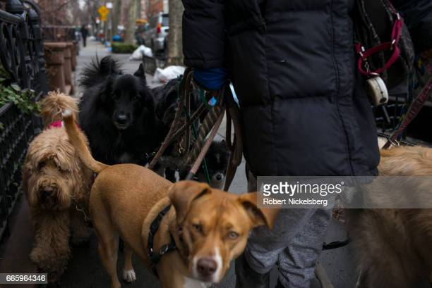 A professional dog walker leads 8 dogs on a 30minute walk March 27 2017 in the Brooklyn borough of New York City Professional dog walkers charge...