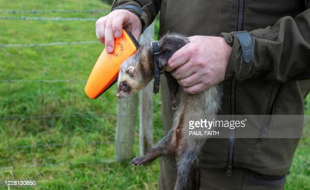 Professional rabbit catcher Steven McGonigal applies an electronic tracking device to one of his ferrets used to chase and trap rabbits in County...
