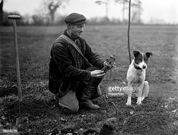 circa 1940's Great Britain A mole catcher with his dog seen preparing a mole trap Moles are subterranean creatures related to the shrew despite being...