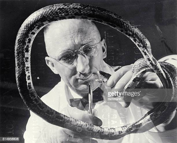 Professor Charles C Morrill of the University of Illinois College of Veterinary Medicine examines a five foot long fox snake sent to him by officials...