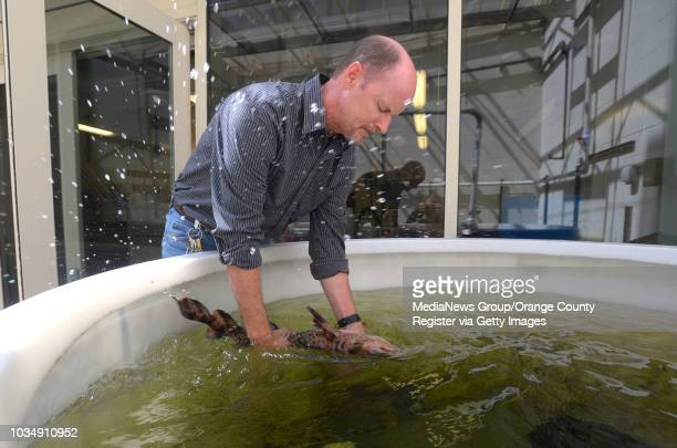 Professor Chris Lowe handles a swell shark as it thrashes in the water at CSULB's shark lab in Long Beach CA on Wednesday May 7 2014 Lowe will give a...