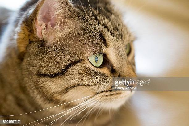 profil close-up of tabby cat with green eyes - profil stock photos and pictures