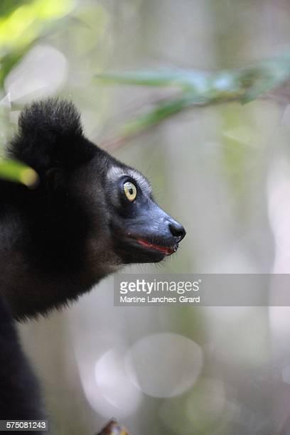 profil of indri indri - profil stock photos and pictures