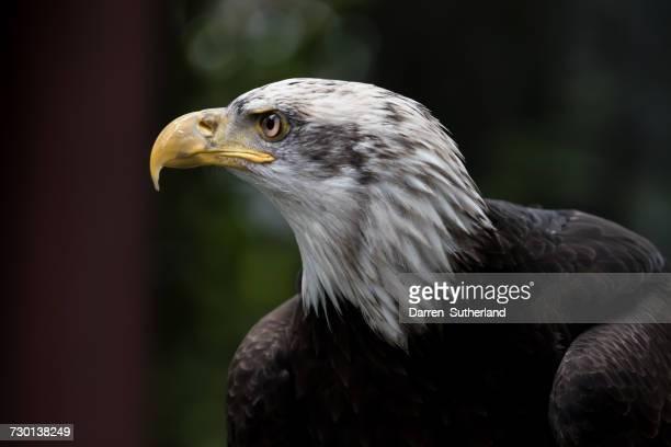 Profile of a bald eagle, British Columbia, Canada