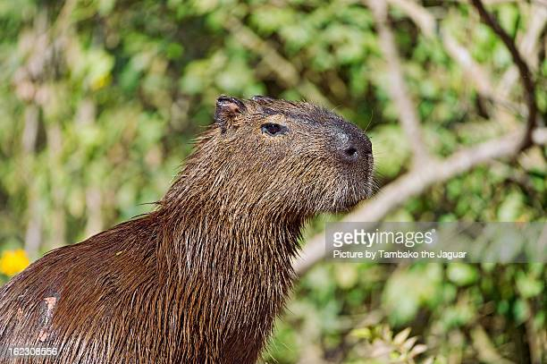 Profile of a capybara