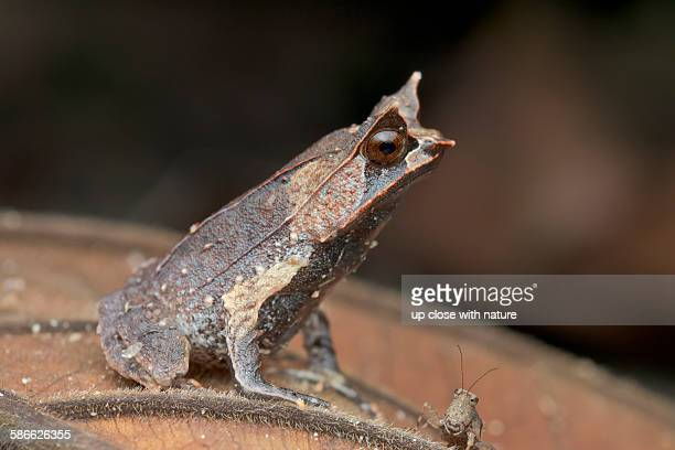 profile of a malayan horned frog - horned frog stock photos and pictures
