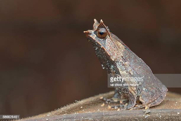 Profile of a malayan horned frog