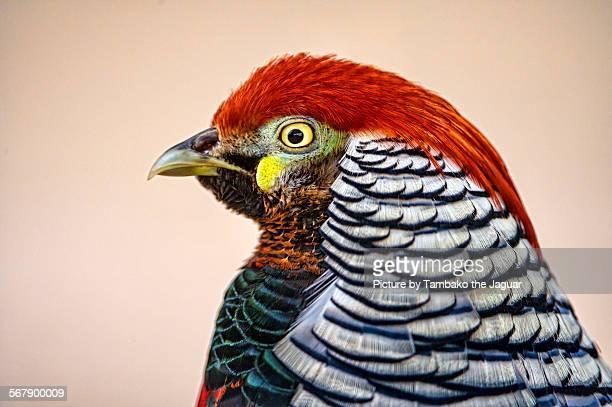 Profile of a pheasant