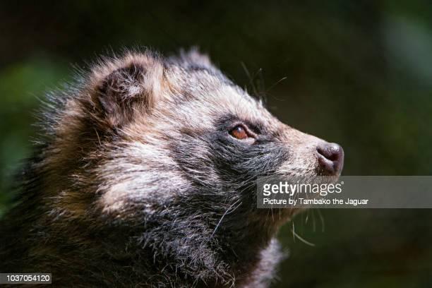 profile of a raccoon dog - marderhund stock-fotos und bilder
