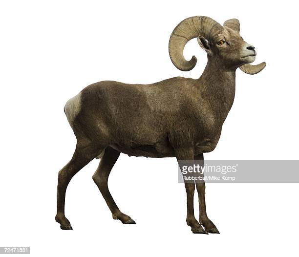 profile of a ram - ram animal stock photos and pictures