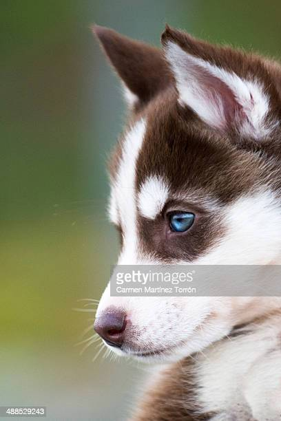Profile of a Siberian Husky Puppy