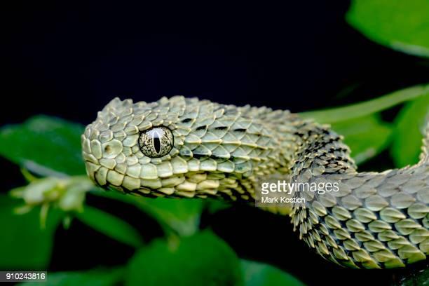 Profile of a Venomous Bush Viper (Atheris squamigera) - Green Version