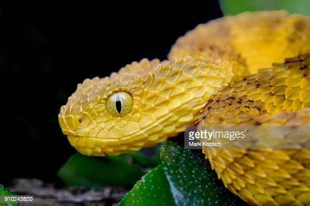 Profile of a Venomous Bush Viper (Atheris squamigera) - Orange Version
