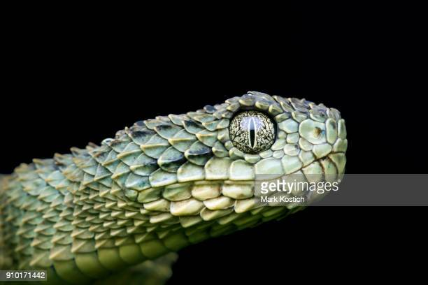 profile of a venomous green variable bush (atheris squamigera) viper snake pre-shed - animal eye stock pictures, royalty-free photos & images
