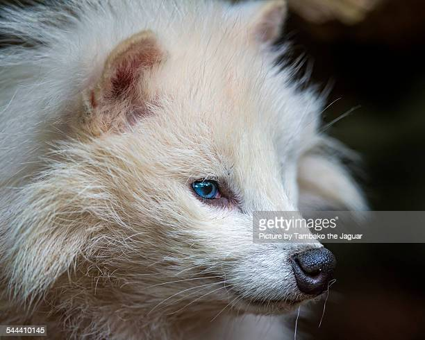 Profile of a white raccoon dog