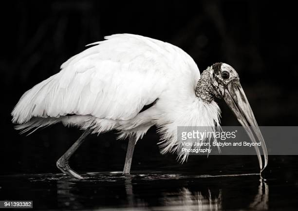 Profile of a Wood Stork in Black and White