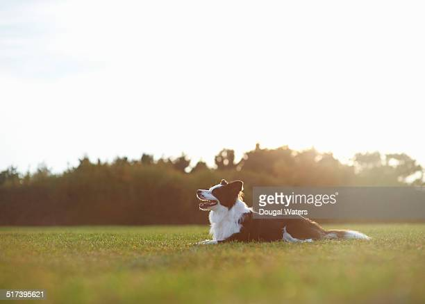 Profile of dog laying in field.