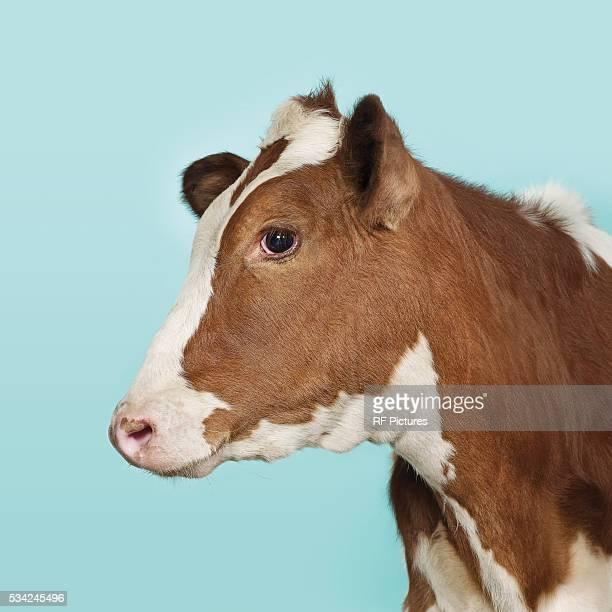 profile of domestic co on blue background - 牝牛 ストックフォトと画像