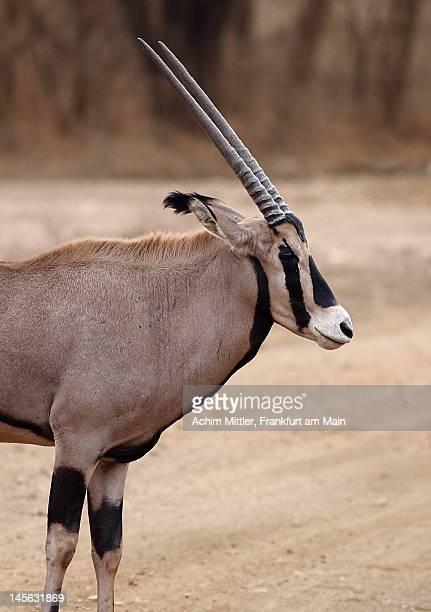 Profile of Fringe-eared Oryx