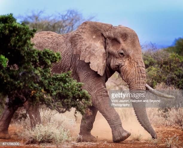 Profile of Ganesh, the One-Tusked Elephant in Amboseli, Kenya