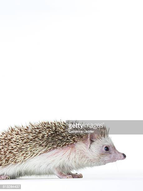 Profile of Hedgehog