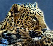 profile leopard mpumalanga south africa