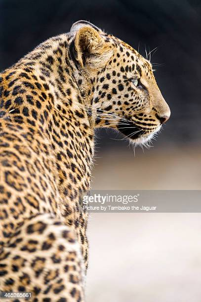 Profile of leopard