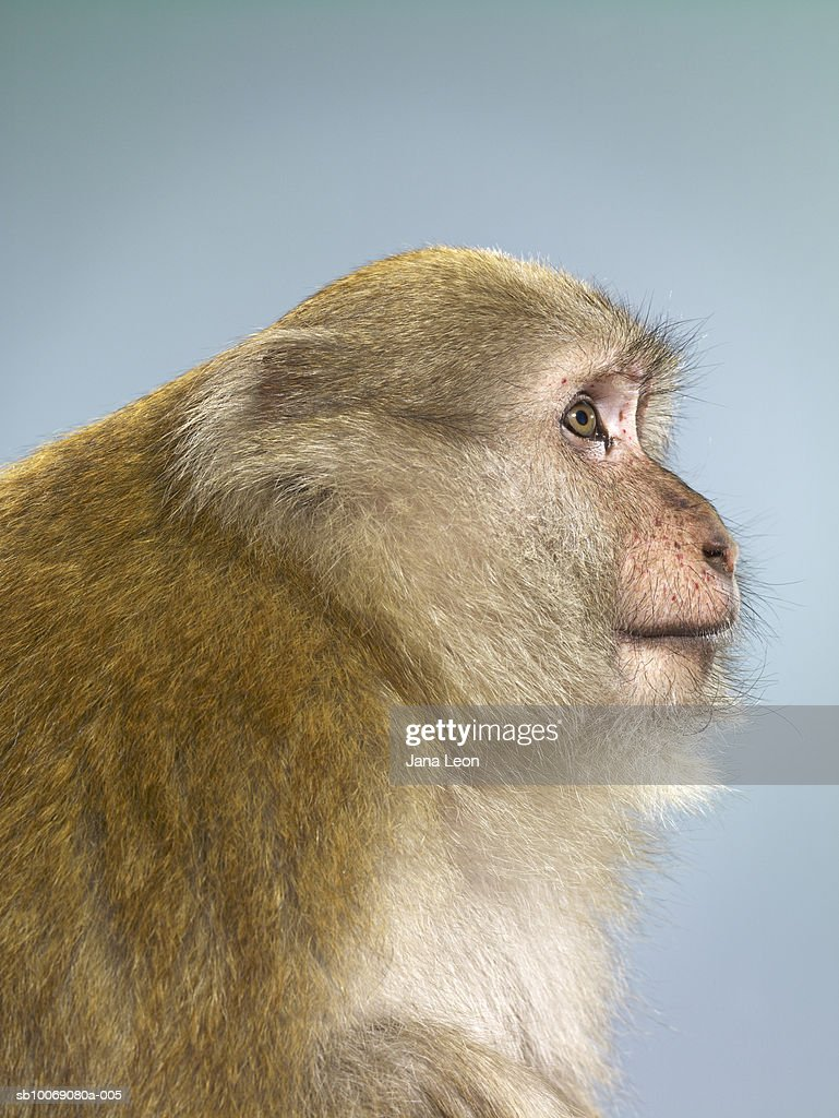 Profile of macaque monkey : Stockfoto