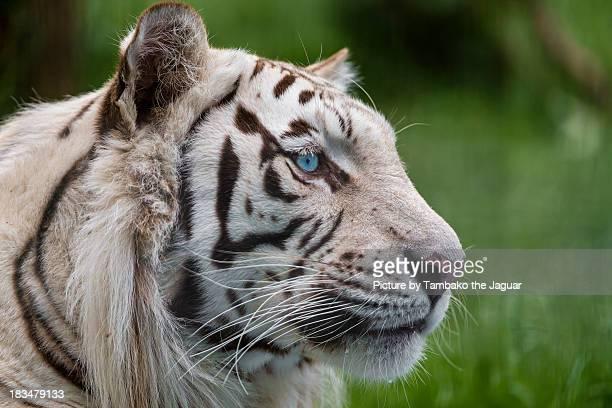 Profile of male white tiger