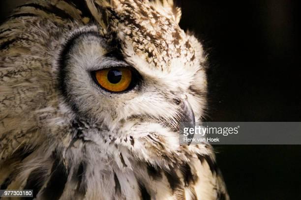Profile of owl, Netherlands