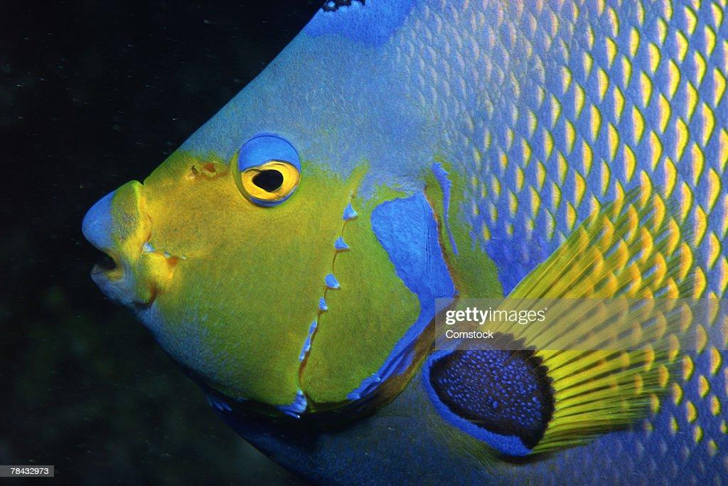 Profile of queen angelfish : Stockfoto