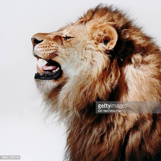 Profile of Roaring Lion