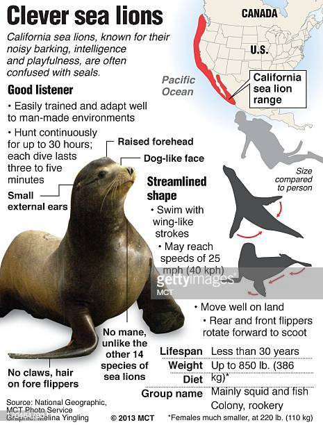 Profile of the California sea lion sea lions in the Columbia River threatening spawning salmon MCT via Getty Images 2013<p> With ENVSEALIONS...