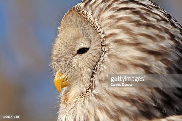 Profile of Ural owl
