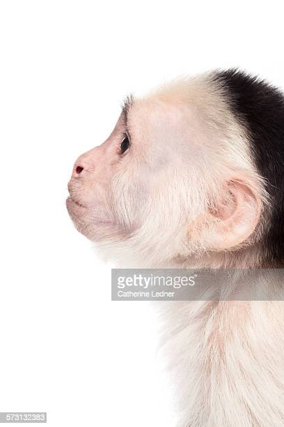 profile of white faced capuchin monkey - capuchin monkey stock pictures, royalty-free photos & images