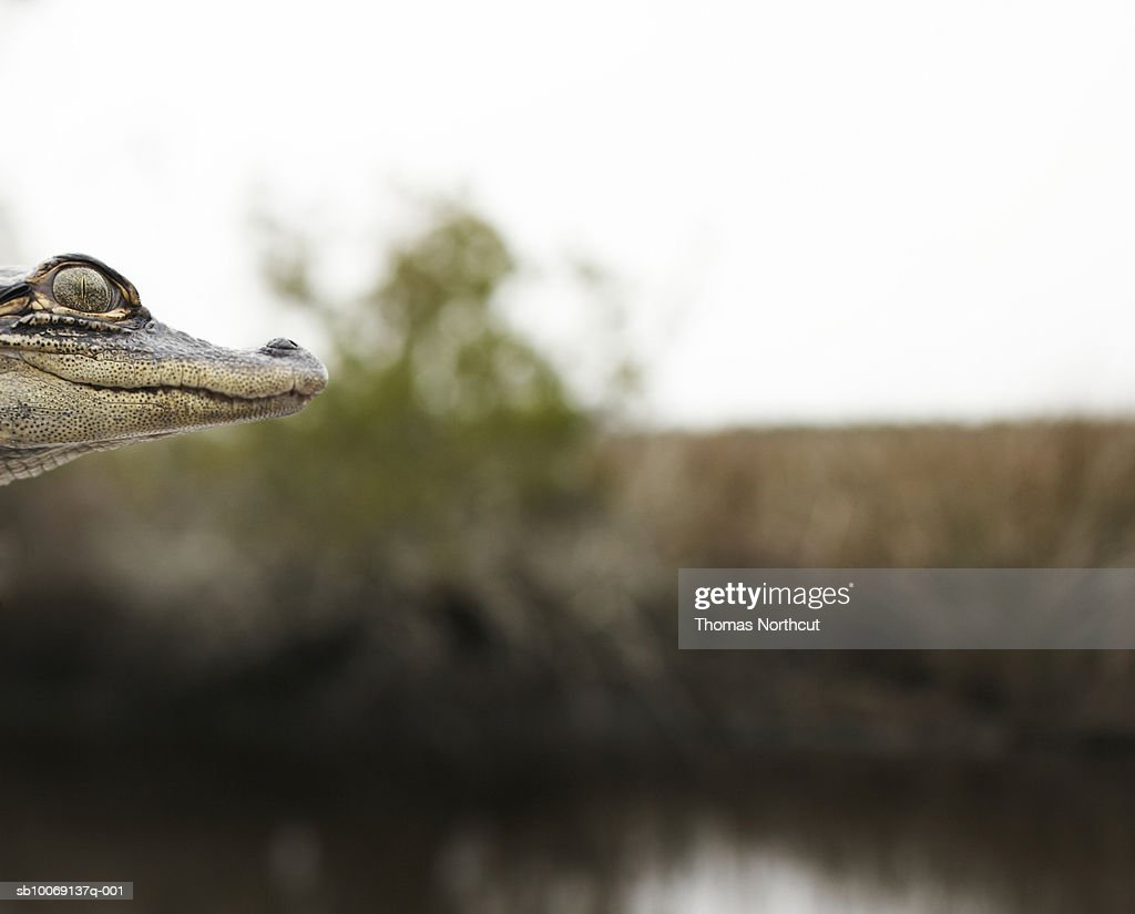 Profile of young crocodile, close-up, focus on foreground : Stockfoto